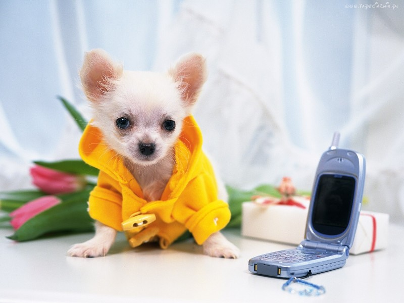 telefon_komorkowy_chihuahua