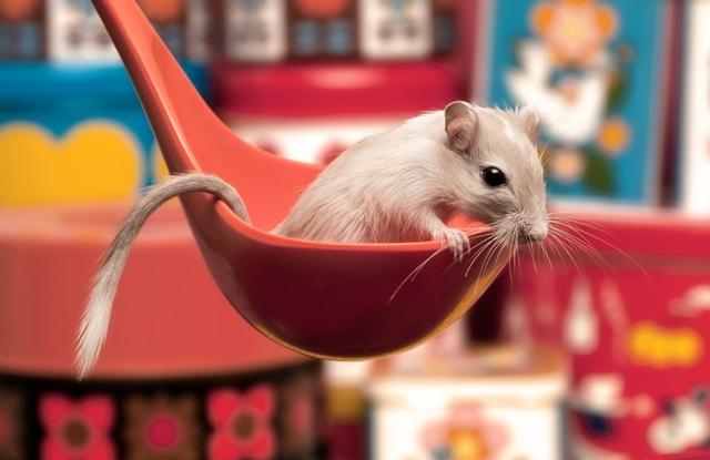 szczurek-chochelka