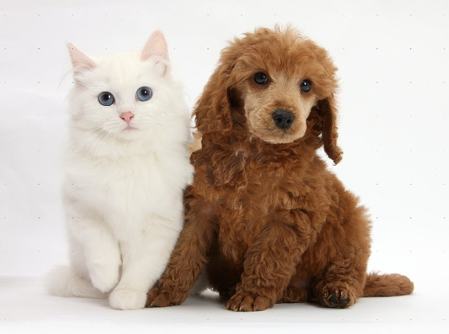 Apricot miniature Poodle pup, Ruebin, 8 weeks old, with white Maine Coon-cross kitten