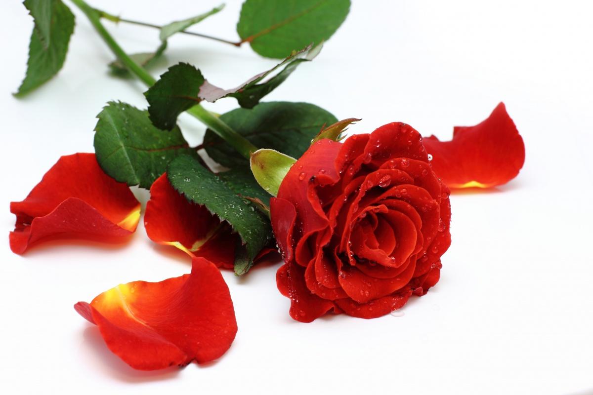 pétalas de rosa vermelhas