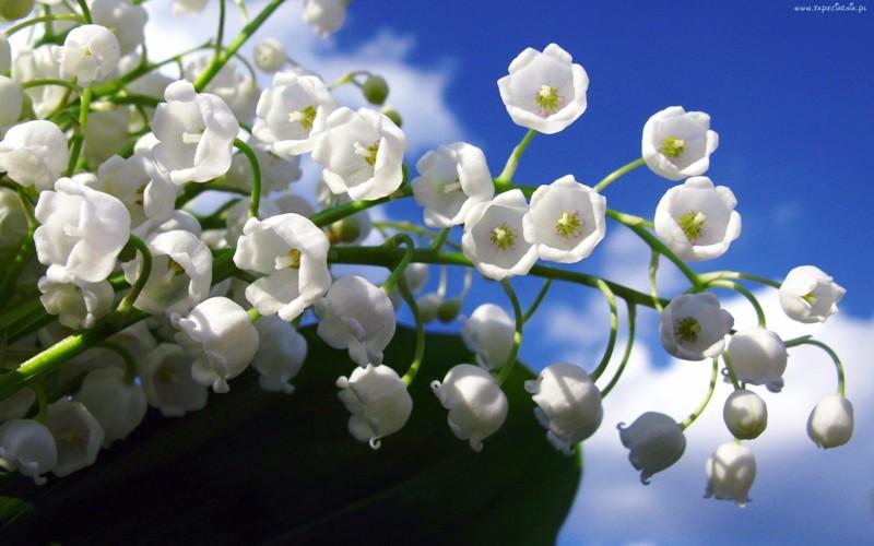 konwalie_kwiaty_dzwonki